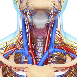 front view of head circulatory system and nervous